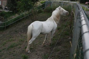 Gray Welsh Pony 4 by Esveeka-Stock