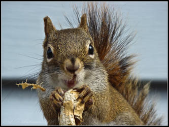 Squirrel I by sillverrfoxx