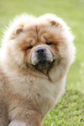 Mr Chow Chow by BlastOButter