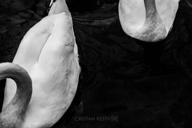 Swans by MrCri96
