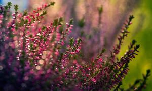 heather by vularia