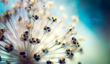Allium by vularia