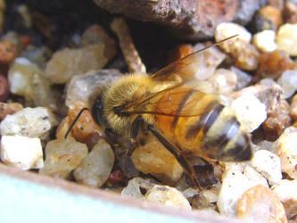bee stock 1 by hatestock