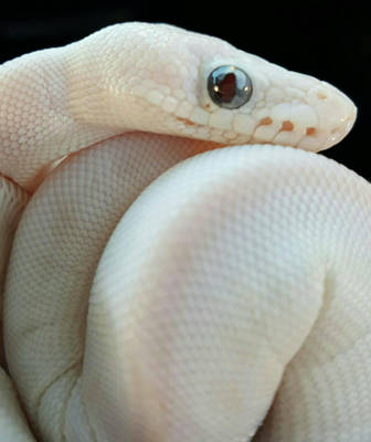 Falkor the Blue Eyed Leucistic  by ChiefHunter