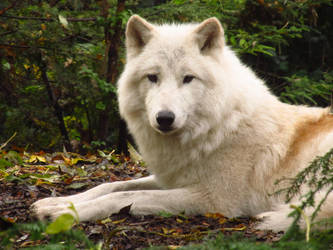 Arctic Wolf 7 by xCrystals