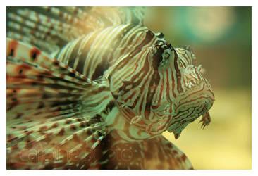 Sea Zebra by caroline-photo