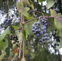Wild Grapes by Schieben