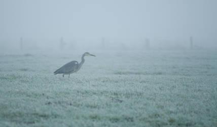 Blue Heron by Danimatie