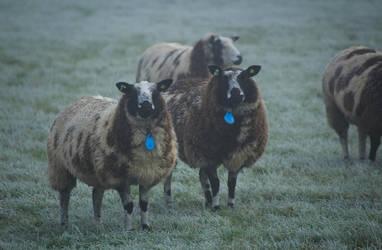 Blue Collar Sheep by Danimatie