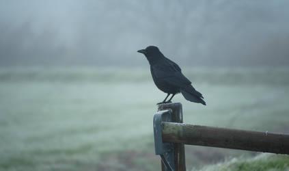 Close-up Crow by Danimatie