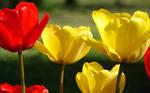 Tulips by Knihovnik