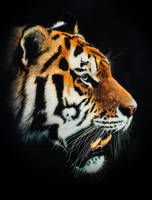 Tiger-Scratchboard Art by GiovanniChis