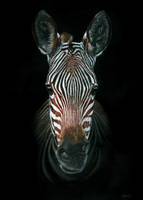 Zebra Portrait by GiovanniChis