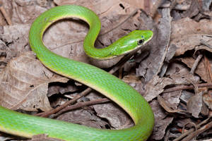 Rough Green Snake by ribbonworm