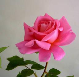 Pink Rose 2 by KisaragiChiyo