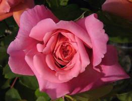 Pink Rose 3 by KisaragiChiyo