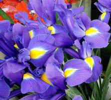 Iris by KisaragiChiyo