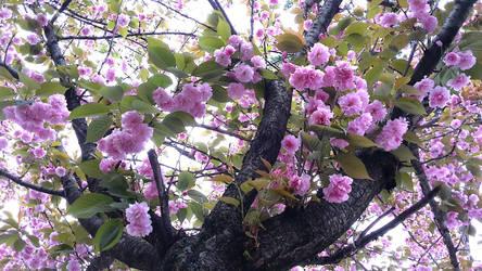 Cherry Blossom 1 - Sakura 2018 by KisaragiChiyo