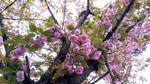 Cherry Blossom 2 - Sakura 2018 by KisaragiChiyo