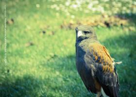 Hawk 3 by WARHORSEstudio