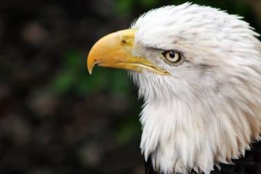 Bald Eagle 2 by BatteryAcid2