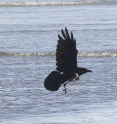 bird 85: corvid by cyborgsuzystock