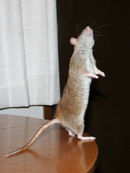 rat 05 by cyborgsuzystock
