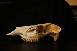 bones 05: elk skull by cyborgsuzystock