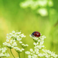 Ladybug by dsfotods