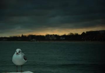 Herring gull by Katosu