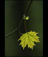 .: Maple tree :. IV by Katosu