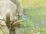 Blue Jay by DigimonSaversLover