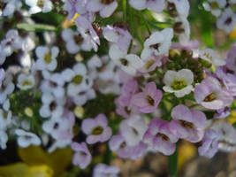 Purple and white flowers 1 by 1sabella