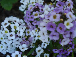 Purple and white flowers 2 by 1sabella