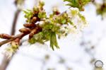 Buds of Spring by sintar