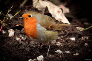 Robin by George---Kirk
