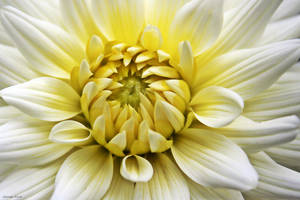 Center of the Dahlia by George---Kirk