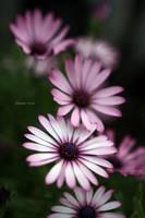Osteospermum by George---Kirk