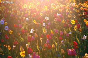 colorful flowers sea in evening light by MT-Photografien