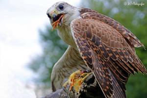 Saker Falcon 2 by MT-Photografien