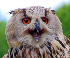 Siberian eagle owl by MT-Photografien