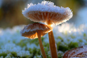 Frosty kristal mushrooms in the morning sun 1 by MT-Photografien