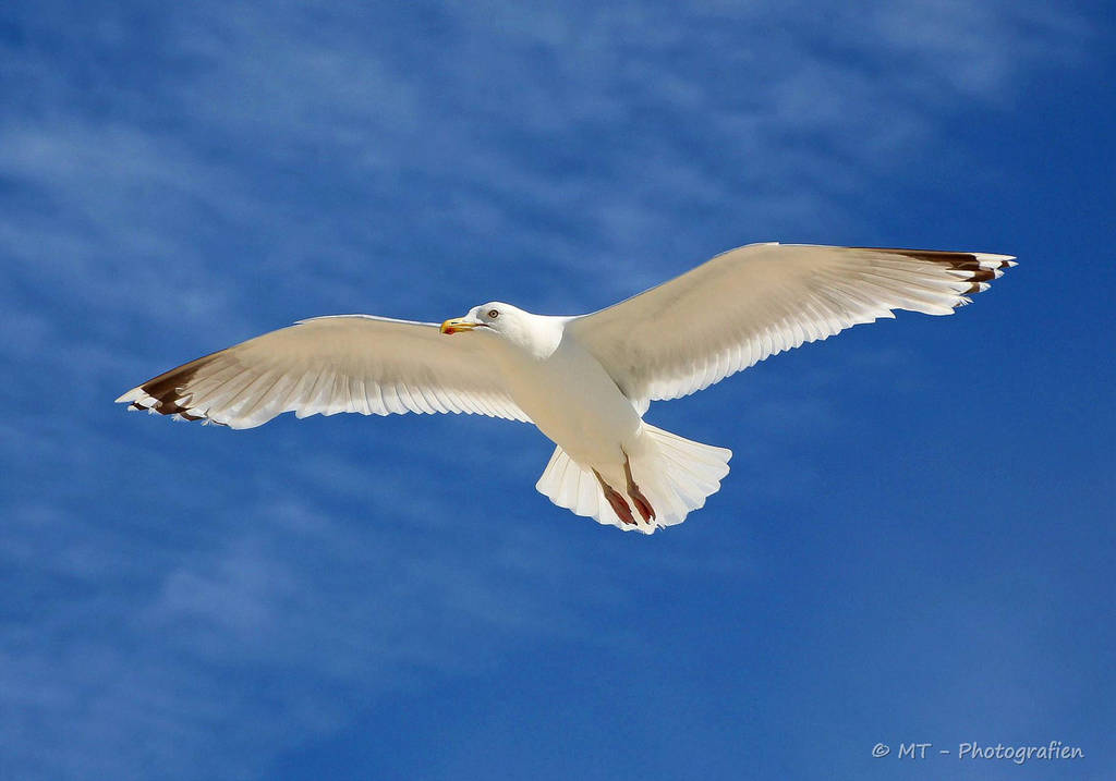 Gull on foraging by MT-Photografien