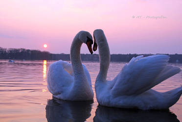 Two swans enjoy the romantic evening by MT-Photografien