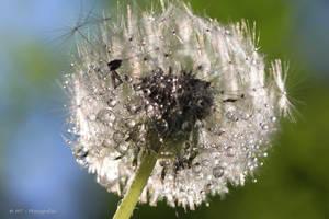 water drops on the dandelion by MT-Photografien