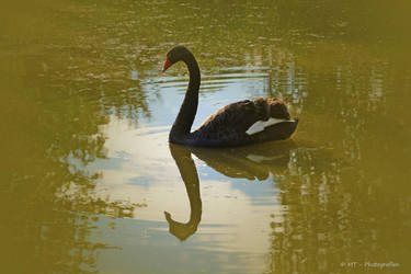 black swan in bright light by MT-Photografien