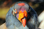King Vulture by MT-Photografien