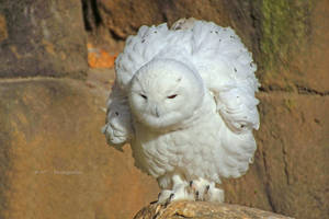 snow owl by MT-Photografien