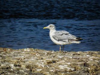 Seagull by Nela23235