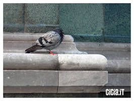 Pigeon by Cicia